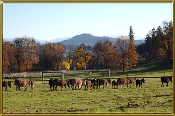 Herd walking cf 600