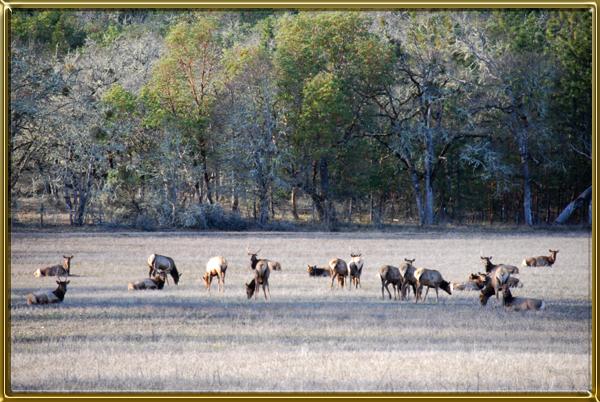 elk in meadow cf 600