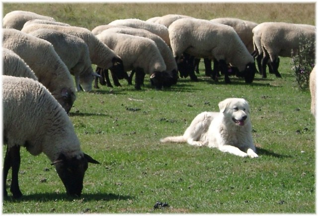 Flock Guardian Dogs For Sale In Canada