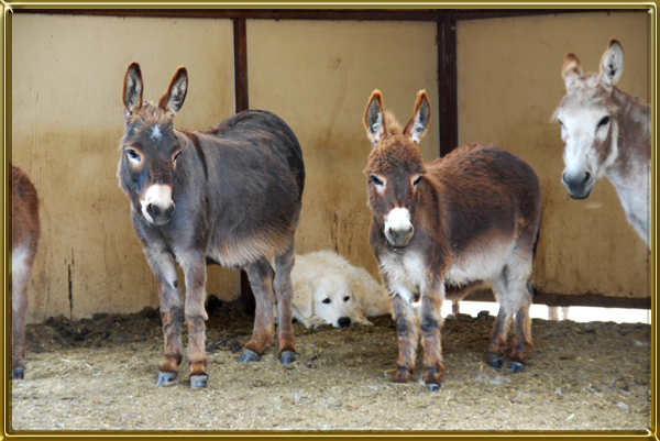 Image result for mini donkeys