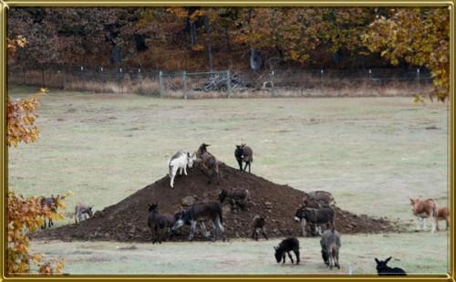 donkeys on hill cf 600