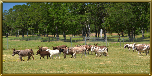 When Our Donkey Herd Went From 25 Donkeys To 100 In 2006 It Was Clear That We Needed Build Some Fences And A Barn Or Two