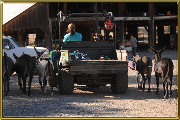 Tying Your Donkey - A Great Training Tool! - Benson Ranch