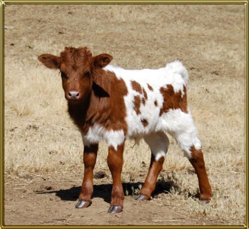 Char bull look 6-23 cf 600