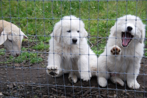 pups on fence 1500