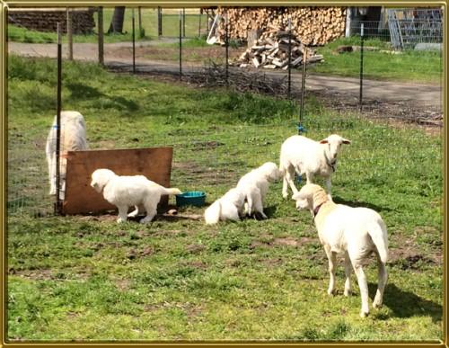 pups w sheep cf 600