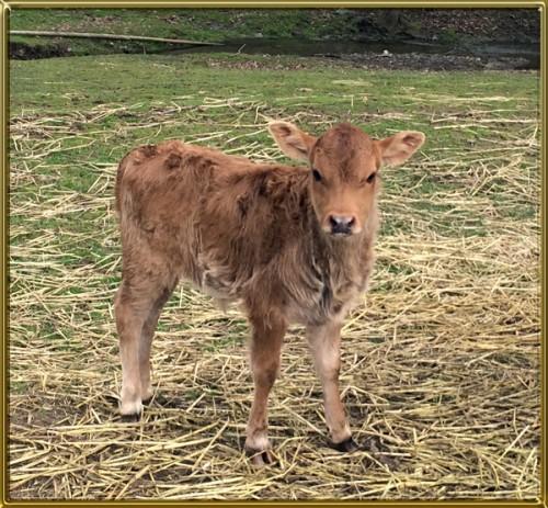 Margie's 2017 bull calf cf 600